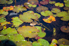Żaba na leluja ochraniaczu fotografia stock