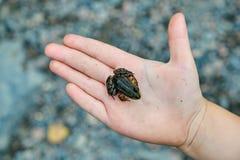 Żaba na palmie Zdjęcie Stock