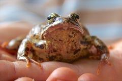 Żaba na ręce zdjęcie stock