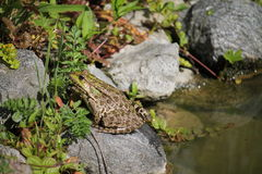 Żaba na skale Fotografia Stock