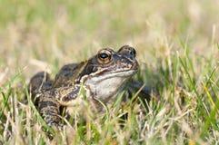 Żaba na trawie zdjęcie stock