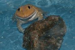 Żaba na wodzie fotografia stock