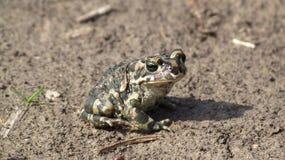 Żaba na ziemi Obraz Royalty Free