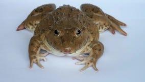 Żaba oddycha swój oczy i mruga zdjęcie wideo