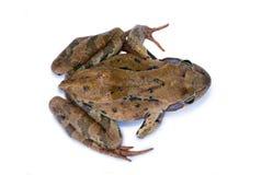 Żaba odizolowywająca na białym tle Obraz Royalty Free