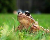 żaba ogród Zdjęcia Royalty Free