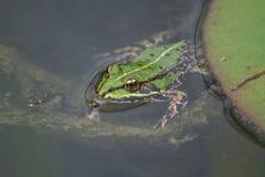 Żaba pławiki Zdjęcia Stock