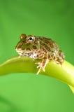 żaba pacman Obrazy Stock