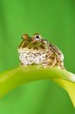 żaba pacman Zdjęcie Stock