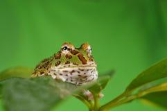 żaba pacman Zdjęcia Stock