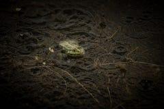 Żaba pod deszczem Fotografia Royalty Free