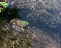 Żaba pod wodą Obraz Royalty Free
