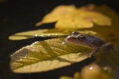 Żaba podróżnik Zdjęcia Stock
