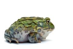 żaba pojedynczy white obraz royalty free