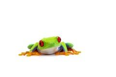 żaba pojedynczy white obrazy stock