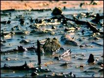 Żaba pojedynek Zdjęcie Royalty Free