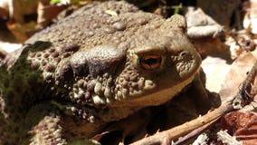 Żaba - Pospolity kumak w dzikim (Bufo bufo) zbiory