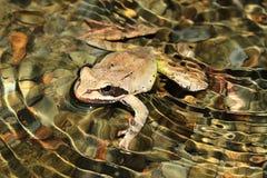Żaba (Rana macrocnemis) Obrazy Stock