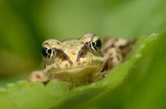 Żaba siedzi na zielonym liściu Fotografia Stock