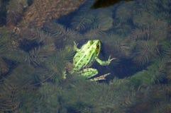 żaba staw Obrazy Royalty Free