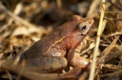 żaba staw Zdjęcia Royalty Free