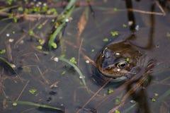 żaba staw Zdjęcia Stock