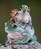 Żaba stos Zdjęcie Royalty Free