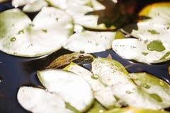 Żaba wśród leluj Zdjęcie Royalty Free
