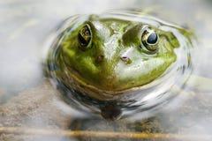Żaba w bagnie Obrazy Stock