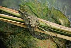 Żaba w bagnie Obraz Royalty Free