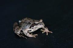 Żaba w czerni Obrazy Royalty Free