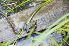 Żaba w kałuży Fotografia Royalty Free