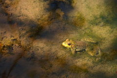 Żaba w lasu strumieniu Obrazy Stock