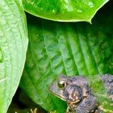 Żaba w lecie Fotografia Royalty Free