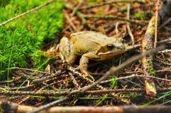 Żaba w lesie Obrazy Royalty Free