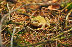 Żaba w lesie Zdjęcia Royalty Free