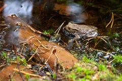 Żaba w lesie Obrazy Stock