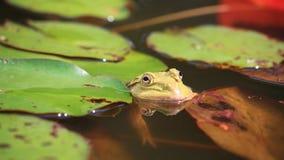 Żaba w lotosowym stawie Zdjęcie Stock