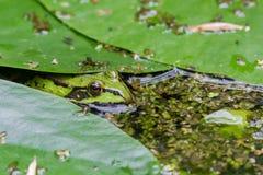 Żaba w naturze Fotografia Stock