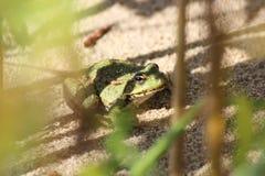 Żaba w przyczajeniu Obraz Stock