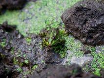 Żaba w stawie Zdjęcie Royalty Free