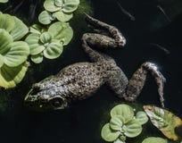 Żaba w stawie Zdjęcia Royalty Free