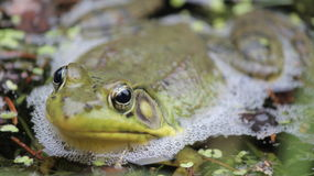 Żaba w stawie, konserwacja teren, Niagara spadki, Kanada Zdjęcia Stock