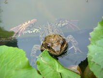 Żaba w stawie między liśćmi Zdjęcie Royalty Free