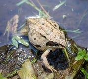 Żaba w stawie w lecie Fotografia Royalty Free