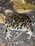 Żaba w ten sposób smutna Zdjęcie Stock