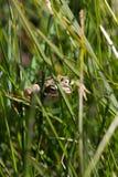 Żaba w trawy zbliżeniu obrazy stock