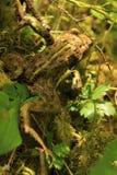 Żaba w Underbrush Zdjęcia Royalty Free