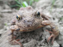 Żaba w wiosny natury lasowym Makro- zakończeniu up obraz stock