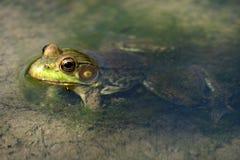 Żaba w zatoczce Zdjęcia Stock
